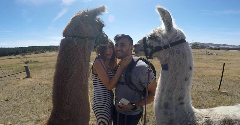 Newly engaged couple surrounded by happy llamas