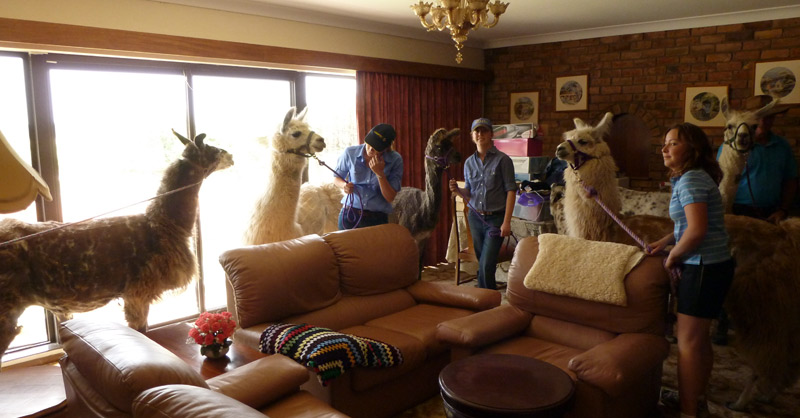 llamas having a tour inside the house